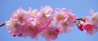Japanese-Cherry-Trees-324187_1280